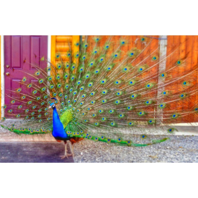 Always showing off while keeping the snakes away from the mountain side... #peacock #feathers #birds #rainbow